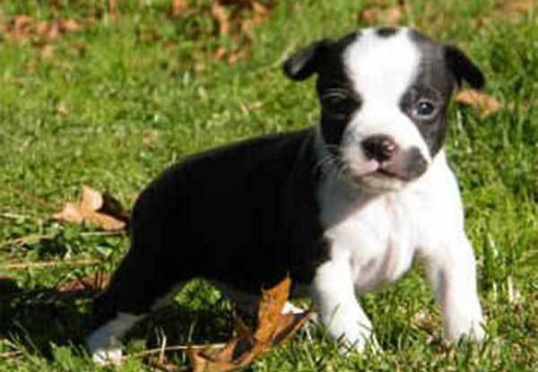 boston terrier chihuahua mix
