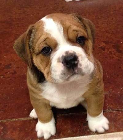 beagle bulldog mix guide