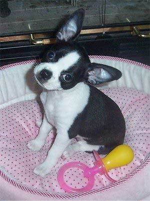 boston terrier chihuahua mix puppy