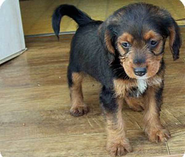 shih tzu daschund all about the schweenie shih tzu dachshund mix 9030