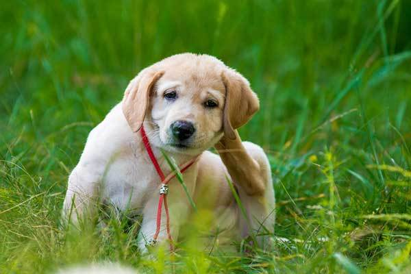 get rid of fleas on dogs fast