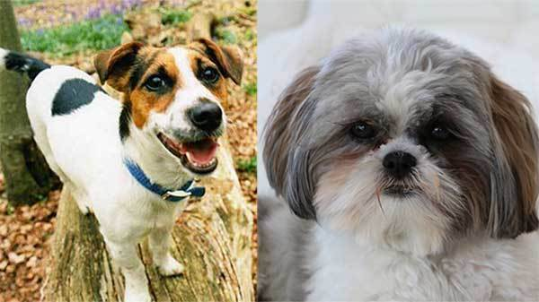 Facts About The Jack Russell Shih Tzu Mix