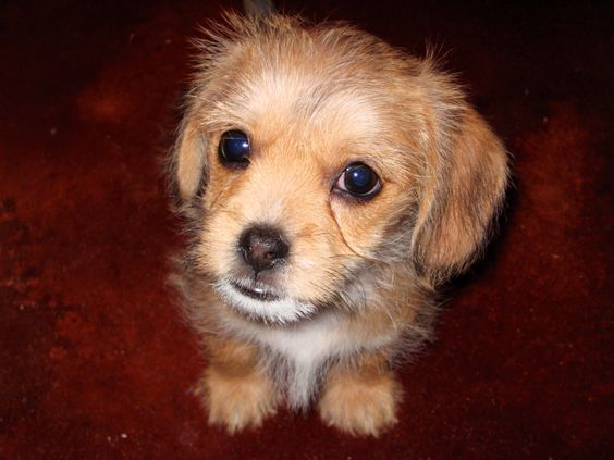 dachshund shih tzu mix dog