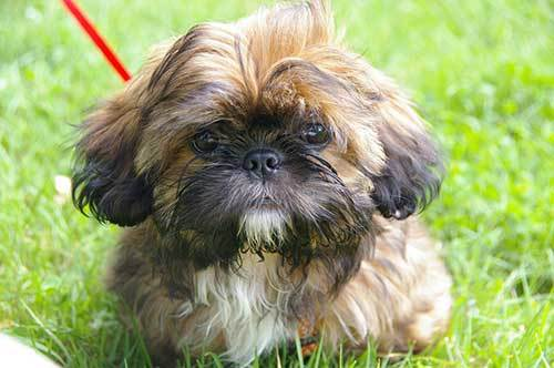 shih tzu dog origin