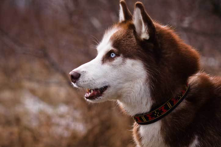 What Is A Red Siberian Husky Here Are