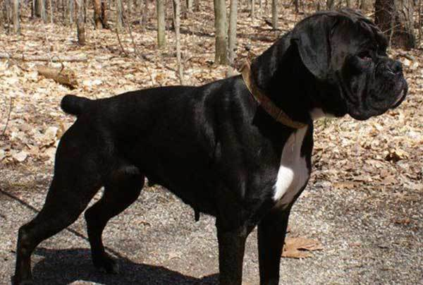 Everything you need to know about the Black Boxer dogs