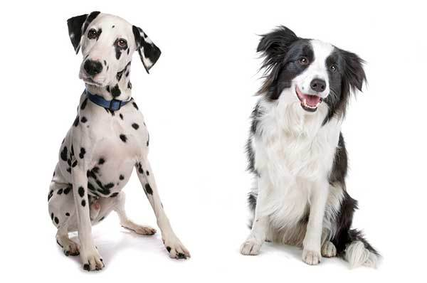 dalmatian border collie mix
