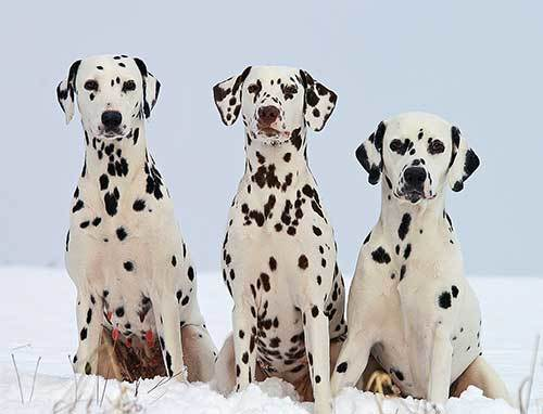 the history of dalmatian breed
