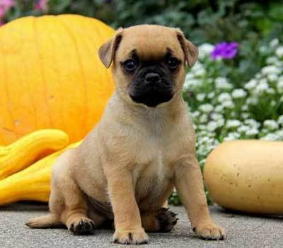 how big do jack russell pug mix get