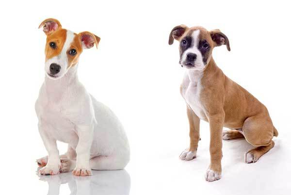 Jack Russell Boxer Mix Dog Guide