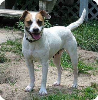 boxer jack russell mix