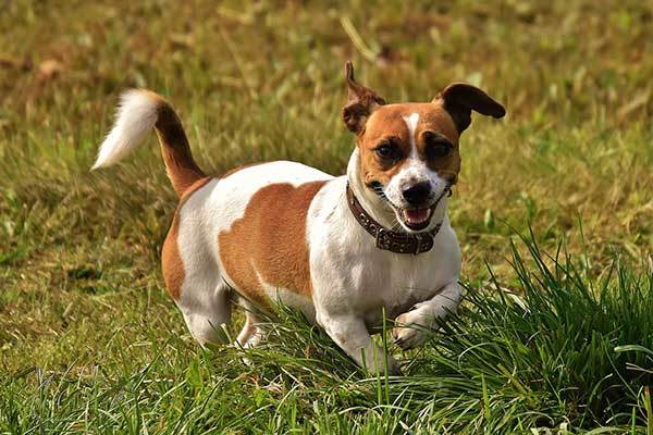 how to train a jack russell