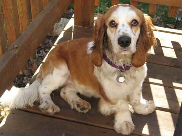 Basset Hound Cocker Spaniel Mix