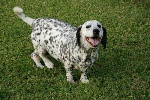 basset hound and dalmatian mix