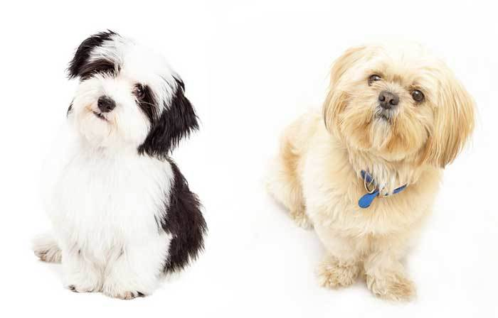 All About The Havanese Shih Tzu Mix Havashu Facts Information