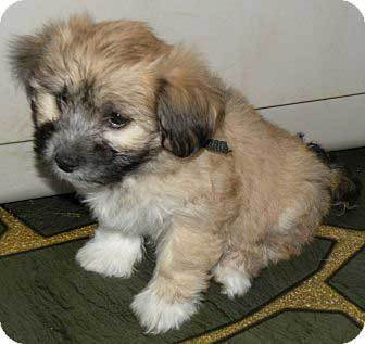 havanese shih tzu mix dog