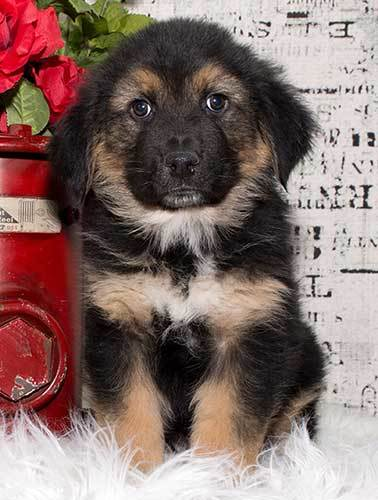 German shepherd Bernese mountain dog mix