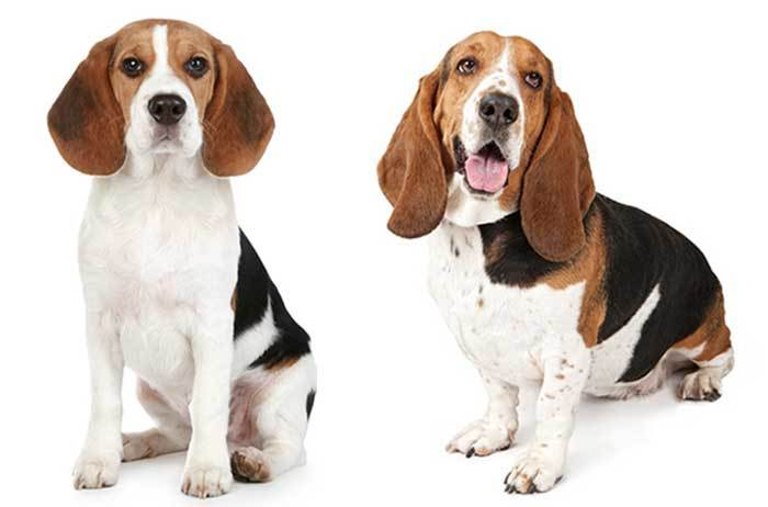 Image result for beagle basset hound mix