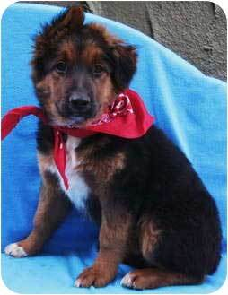 german shepherd bernese mountain dog mix appearance