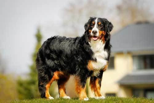 Bernese mountain dog history