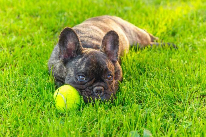 brindle french bulldog guide