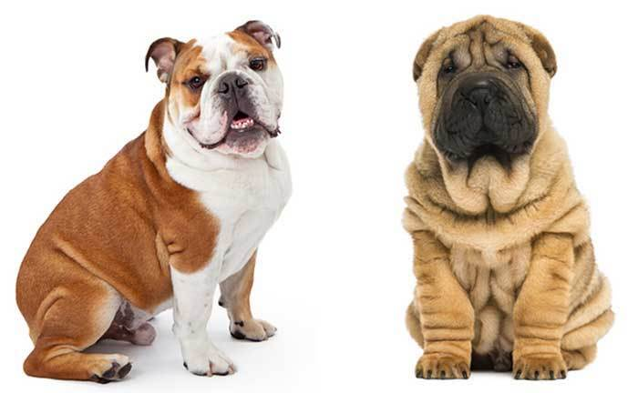 bull pei dog complete guide