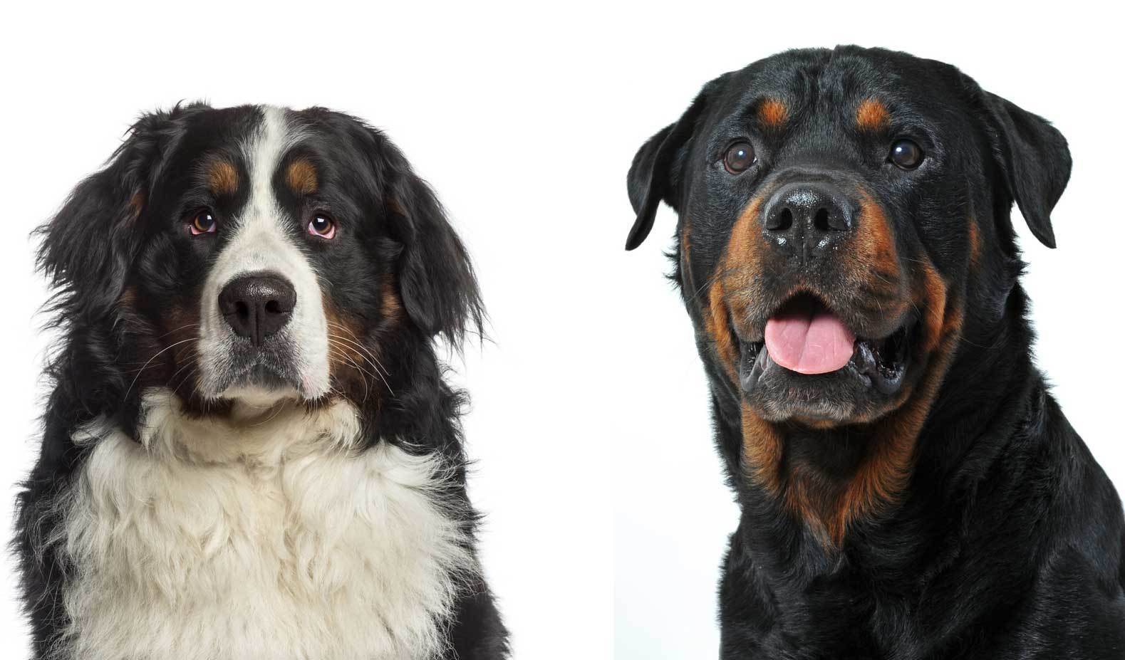 All About The Rottweiler Bernese Mountain Dog Mix Bernweiler