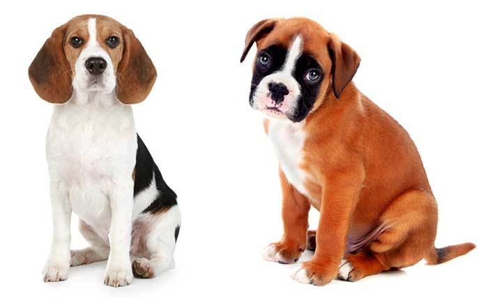 Beagle Boxer Mix Boggle information