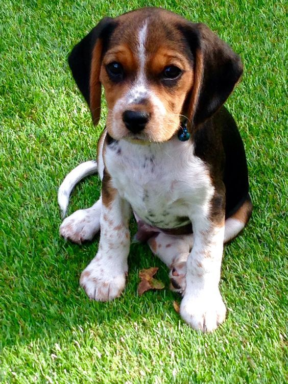 king charles cavalier mixed with beagle