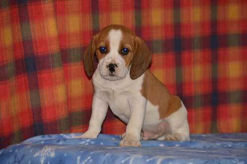 beagle boxer mix puppy