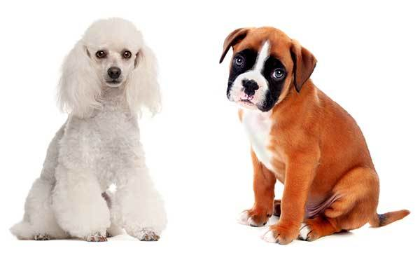 Boxerdoodle: Your Guide To The Adorable Boxer Poodle Mix (With Pictures)