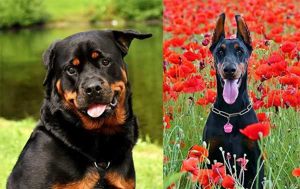 rottweiler or doberman comparison