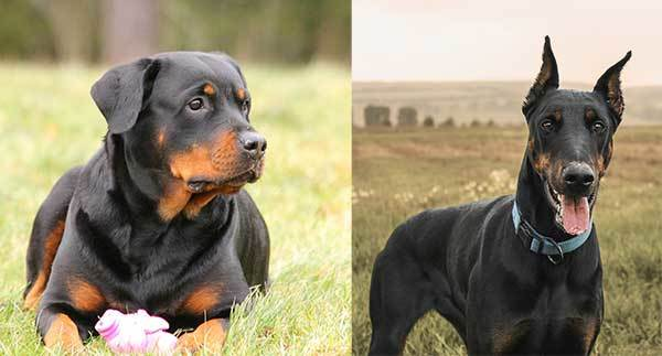 rottweiler vs doberman complete comparison