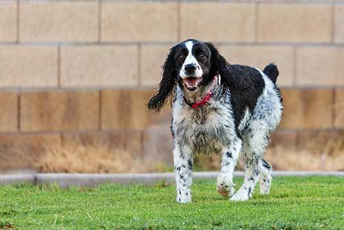 springer spaniel training methods