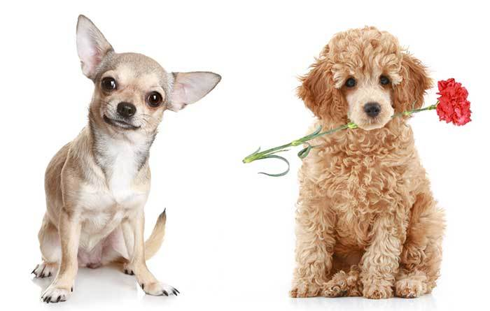 poodle chihuahua mix information