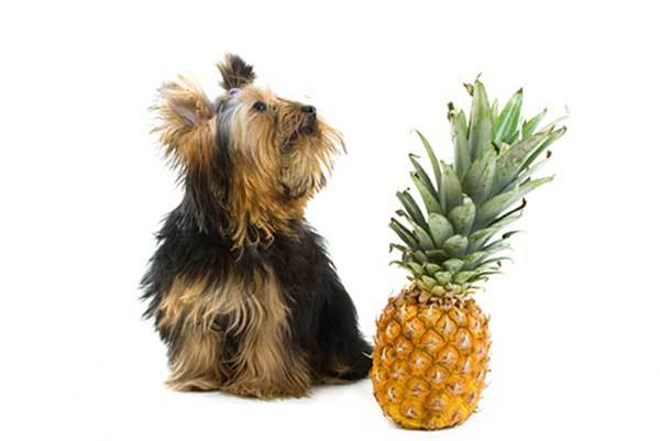 is pineapple ok for dogs?