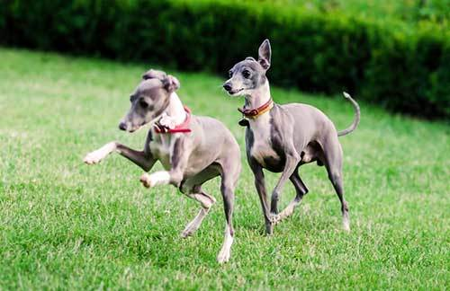 picture of Italian Greyhound Puppies
