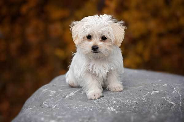 Maltese dog origin
