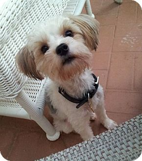 shih tzu and maltese mix dog