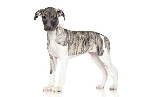 picture of whippet puppy