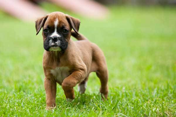 boxer puppy origin