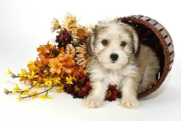 All About The Morkie The Maltese Yorkshire Terrier Mix Facts