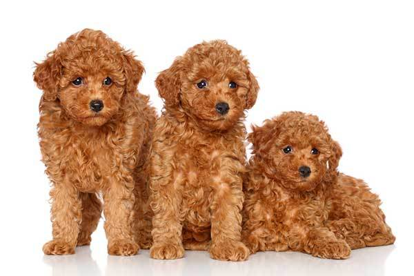 poodle dog origin