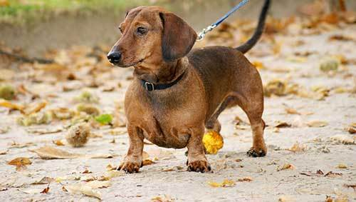 train your dachshund not to bark