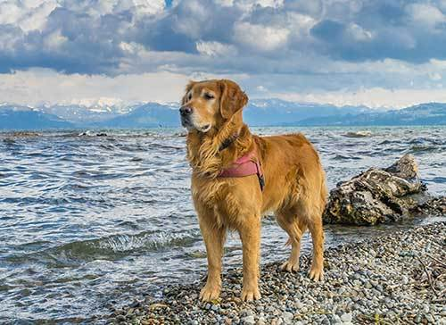 the difference between labrador and golden retriever hunting skills