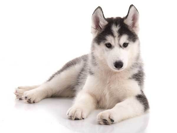 husky dog origin