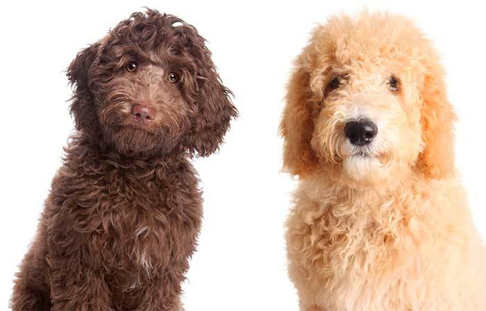 Which breed is better Labradoodle or goldendoodle?