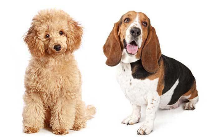 Bassetoodle – A Guide to the Basset Hound Poodle Mix