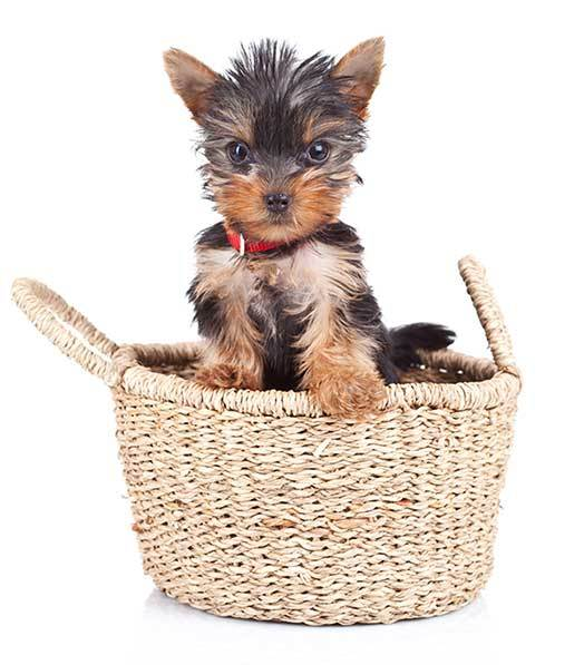 Small Yorkie Guide