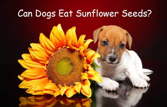 can dogs have sunflower seeds